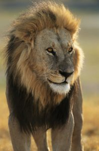 Picture of NC Conservators Center Male Lion