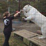 picture of woman feeding a tiger workers compensation questions to answer