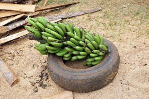 pic of green bananas workers comp covid-19 numbers