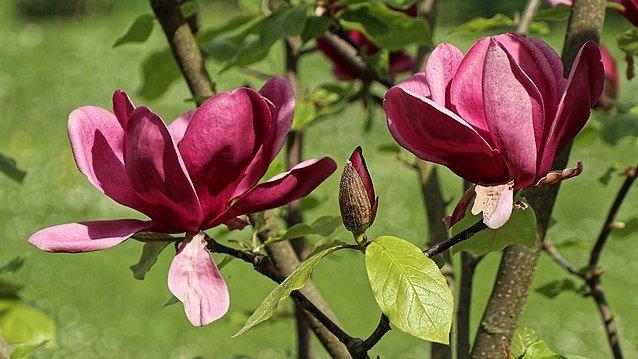pic of magnolia hybrid premium audit prep